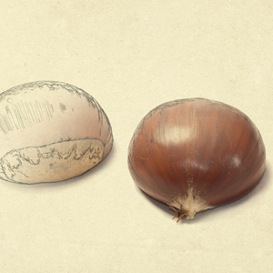 galeguina-castana