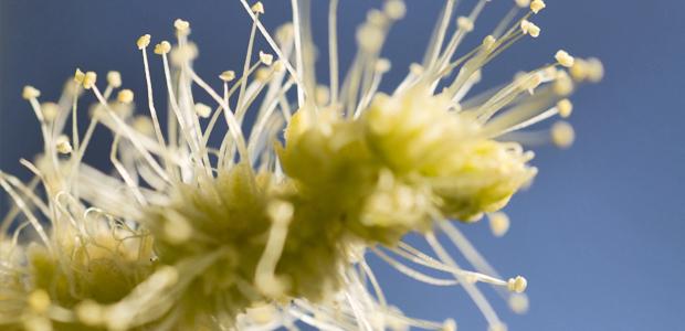 castana-flor
